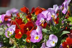 Pansy flower in flower bed. Royalty Free Stock Photography