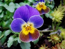 Pansy flower. In a garden Stock Photo