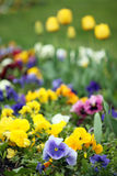 Pansy flower garden Stock Photography
