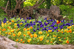 Pansy flower garden Stock Photos