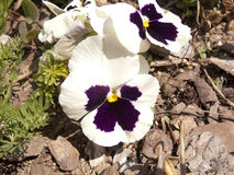 Pansy flower in the garden Stock Images