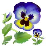 Pansy flower. Royalty Free Stock Photos