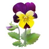 Pansy flower. Stock Photos