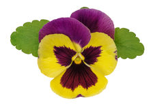 Pansy flower head green leaves isolated white background Stock Images
