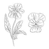 Pansy flower ink sketch on white background Stock Image