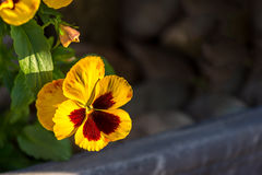 Pansy flower. Isolated pansy plant against bokeh background with room for copy to the right stock photos