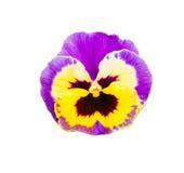 Pansy Flower Isolated porpora e gialla della viola su Backgroun bianco Fotografie Stock Libere da Diritti