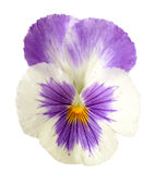 Pansy flower Stock Photo