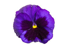 Pansy flower isolated in white Royalty Free Stock Photos