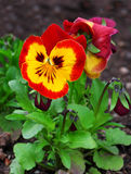 Pansy flower. On natural background Royalty Free Stock Image