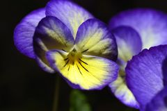 Pansy flower. In natural background royalty free stock image