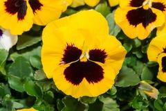 Pansy Flower noire et jaune d'alto dans le jardin Photo stock