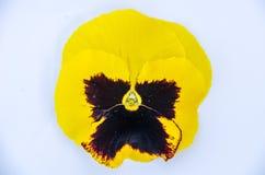 Pansy Flower op witte blackground Royalty-vrije Stock Foto
