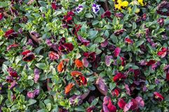 Pansy flower plants. In the garden royalty free stock image