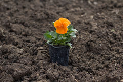 Pansy flower pot on ground Stock Photography