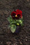 Pansy flower pot on ground Stock Photo