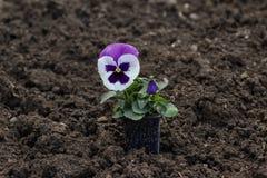Pansy flower pot on ground Stock Photos