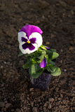 Pansy flower pot on ground Stock Images