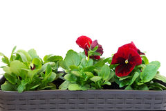 Pansy flower in a pot on white background Royalty Free Stock Photo