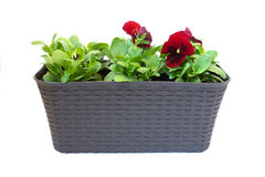Pansy flower in a pot on white background Stock Photos