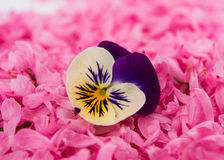 Pansy flower Royalty Free Stock Photo