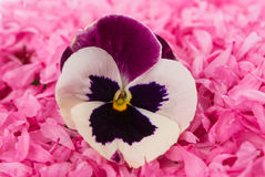 Pansy flower Royalty Free Stock Photos