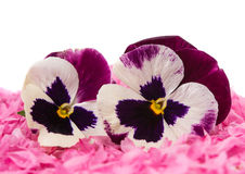 Pansy flower Stock Images