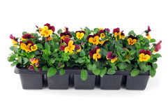 Pansy flower seedlings in a tray box on isolated background Royalty Free Stock Photography