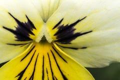 Pansy flower and stamen macro Stock Photos