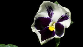 Pansy Flower Time-Lapse