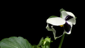 Pansy Flower Time-Lapse stock video footage