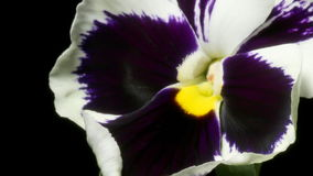 Pansy Flower Time-Lapse stock video