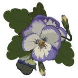 Pansy Flower Vector porpora realistica Immagini Stock Libere da Diritti