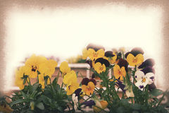Pansy flower, Vintage paper texture for background Royalty Free Stock Image
