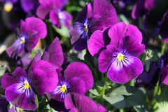 Pansy Flower Violet. Purple pansies on a flower meadow in the sunshine Stock Photos