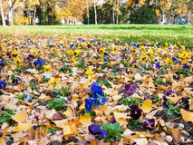 Pansy flowerbed Royalty Free Stock Photos
