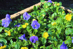 Pansy Flowerbed Royalty Free Stock Image