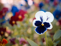 Pansy Flowerhead Royalty Free Stock Photos