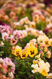 Pansy flowers. On multicolored flower bed  in soft focus Stock Image