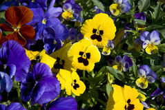 Pansy flowers Royalty Free Stock Photography