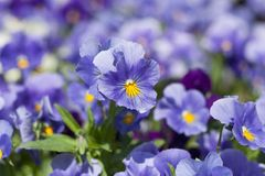 Pansy flowers Royalty Free Stock Image