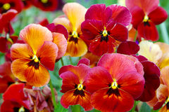 Pansy flowers. Red and yellow pansy flowers Stock Image