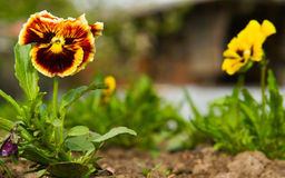 Pansy flowers Stock Images
