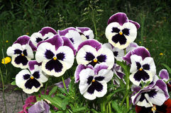 Pansy Flowers Photo stock