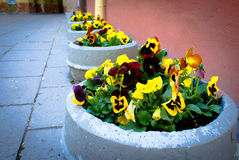 Pansy Flowers. Photographie stock