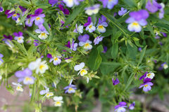 Pansy flowers. In the summer garden Royalty Free Stock Images