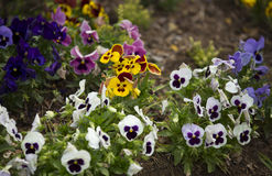 Pansy Flowers Immagini Stock