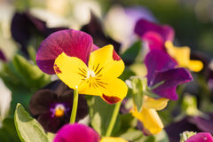 Pansy Flowers Royalty-vrije Stock Fotografie