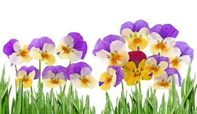 Pansy Flowers Stock Foto