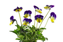 Pansy Flowers stock fotografie
